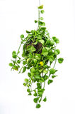 House plant hanging Royalty Free Stock Photography