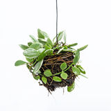 House plant hanging. On white background Stock Image