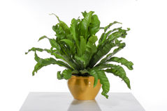 House plant Royalty Free Stock Image