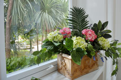 House plant hydrangea and green leaves in a pot on the windowsill Royalty Free Stock Photography