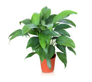 House plant isolated on white background Royalty Free Stock Photography