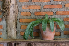 House plant on old wooden shelves. And brick wall background Stock Photo