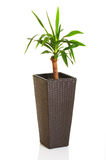 House plant palm in the pot Royalty Free Stock Photo
