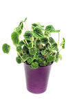 House plant in a pot Royalty Free Stock Photos