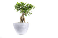 House plant in pot royalty free stock image