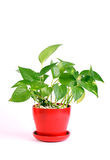 House Plant - Pothos Royalty Free Stock Images