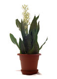 House Plant Sansevieria Stock Image
