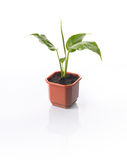 House plant Spathiphyllum. Spathiphyllum house plant in a pot isolated on white with reflection Royalty Free Stock Images
