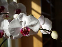 House plant: sunlit white orchid royalty free stock images