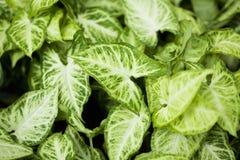 House plant Syngonium podophyllum Emerald Gem. Syngonium podophyllum Emerald Gem leaves of the house plant Stock Images