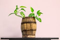 House plant in vintage wooden barrel stock photos
