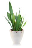 House plant on white background Stock Photo