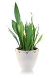 House plant on white background Stock Photo