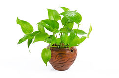 House Plant. On white background Royalty Free Stock Photos