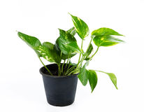 House Plant. On white background Stock Image