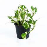 House Plant. On white background Royalty Free Stock Photo