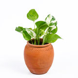 House Plant. On white background Royalty Free Stock Image