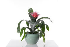House plant Royalty Free Stock Images