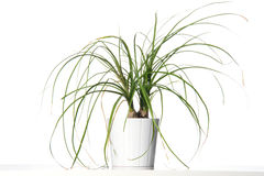 House plant in a white pot. Royalty Free Stock Photography