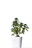 House plant in a white pot. Royalty Free Stock Photos