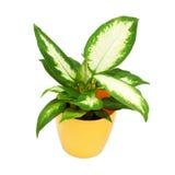House plant in a yellow pot. Dieffenbachia camilla stock photo