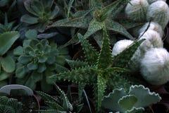 Succulents.Window plants.House plants. Die Zimmerblumen. House plants Stock Image