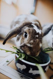 House Rabbits. Lop eared rabbits eating dandelions Royalty Free Stock Images