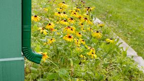 House Rain Gutter Downspout. And Brown-Eyed Susans in flower bed royalty free stock photography