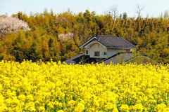 House and rape flower. The rape flowers in front of the House Royalty Free Stock Photos