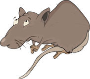 House rat Stock Photo