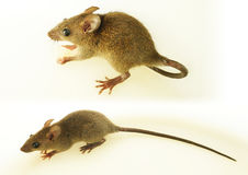 House rat Stock Photos