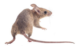 House Rat Isolated Royalty Free Stock Photography