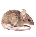 House Rat Isolated Royalty Free Stock Photos