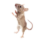 House Rat Isolated Royalty Free Stock Photo