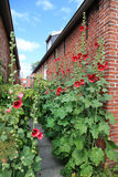 House of red brick stones with red farmers roses in the front. Royalty Free Stock Image