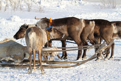 House reindeers Royalty Free Stock Photos