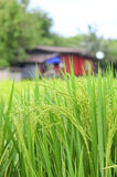 House in the rice field Royalty Free Stock Image