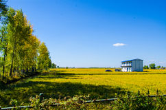 A house in the Rice field under blue sky Stock Image