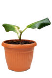 House rubber plant Royalty Free Stock Photography