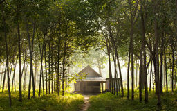 House and rubber plantation. Sunbeam shine thru the rubber tree plantation Stock Images