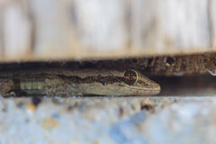 House small lizard in nook Royalty Free Stock Images