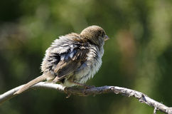 House Sparow (passer domesticus) Royalty Free Stock Image