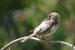 House Sparow (passer domesticus) Stock Image