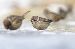 House Sparow (passer domesticus). Feeding Royalty Free Stock Photography