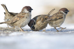House Sparow (passer domesticus). Feeding Stock Images