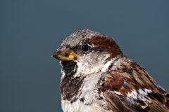 Free House Sparrow Royalty Free Stock Image - 10716206