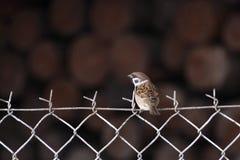 House sparrow Stock Photos