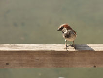 House sparrow. One little sparrow, space for text Royalty Free Stock Photography