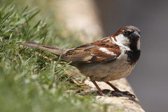 House sparrow. The House Sparrow (Passer domesticus) is a species of passerine bird of the sparrow family Passeridae. It occurs naturally in most of Europe, the royalty free stock photo
