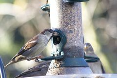 House sparrow. European male house sparrow, Passer domesticus, eating at a bird feeder stock photography
